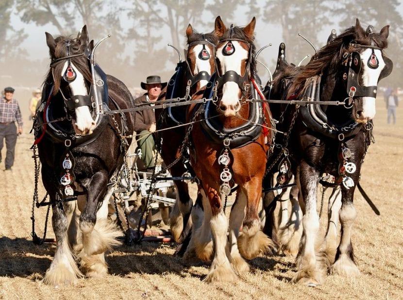 caballos arando